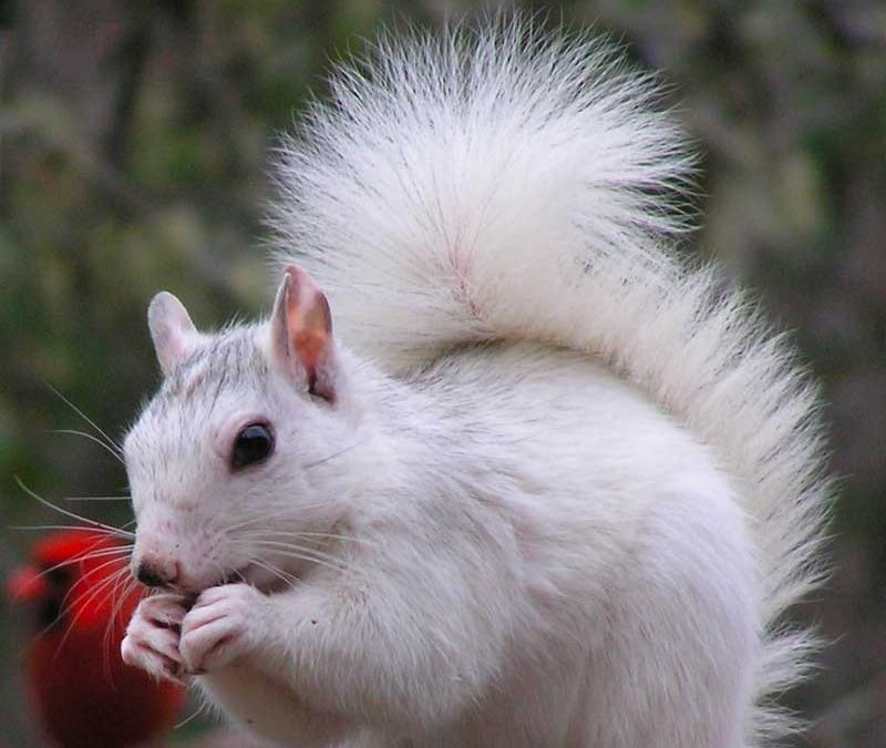 WHITE SQUIRRELS, The Applewood Manor