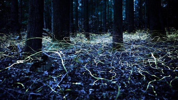 BLUE GHOST FIREFLIES, The Applewood Manor